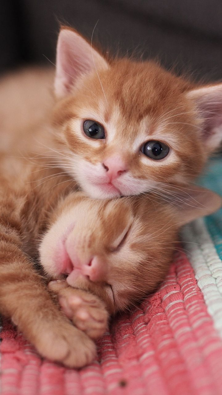 Cute Kittens Pet Stare 720x1280 Wallpaper