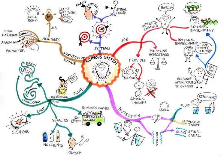 Mind maps, Biology and Nervous system on Pinterest | mind ... on map art diy, basketball party pinterest, summer arts and crafts pinterest, map art print, map art design, map art tumblr, alice in wonderland cake pinterest, map art flowers, map art love, map art google,