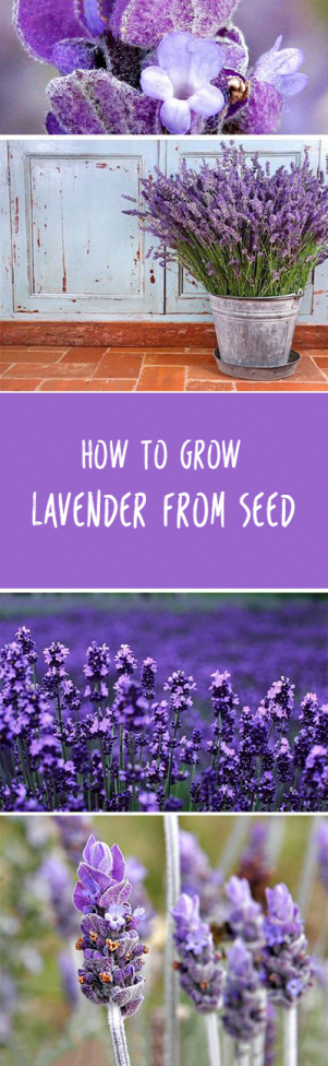 Baby Food Tips Kannada Foodsafetytips Post 4455464744 Gardeningtipsrhs Growing Lavender Plants Flower Garden