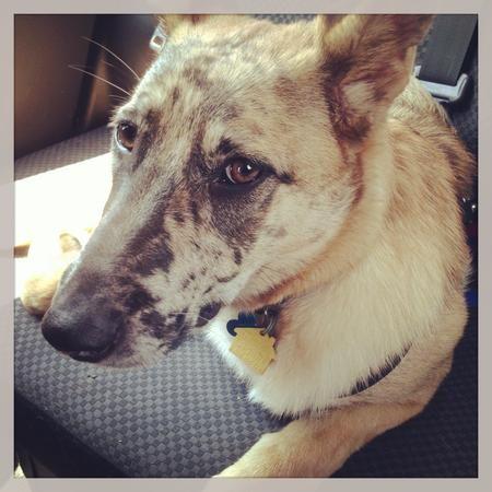Kwiszi the Mixed Breed Dog Breed Australian Shepherd