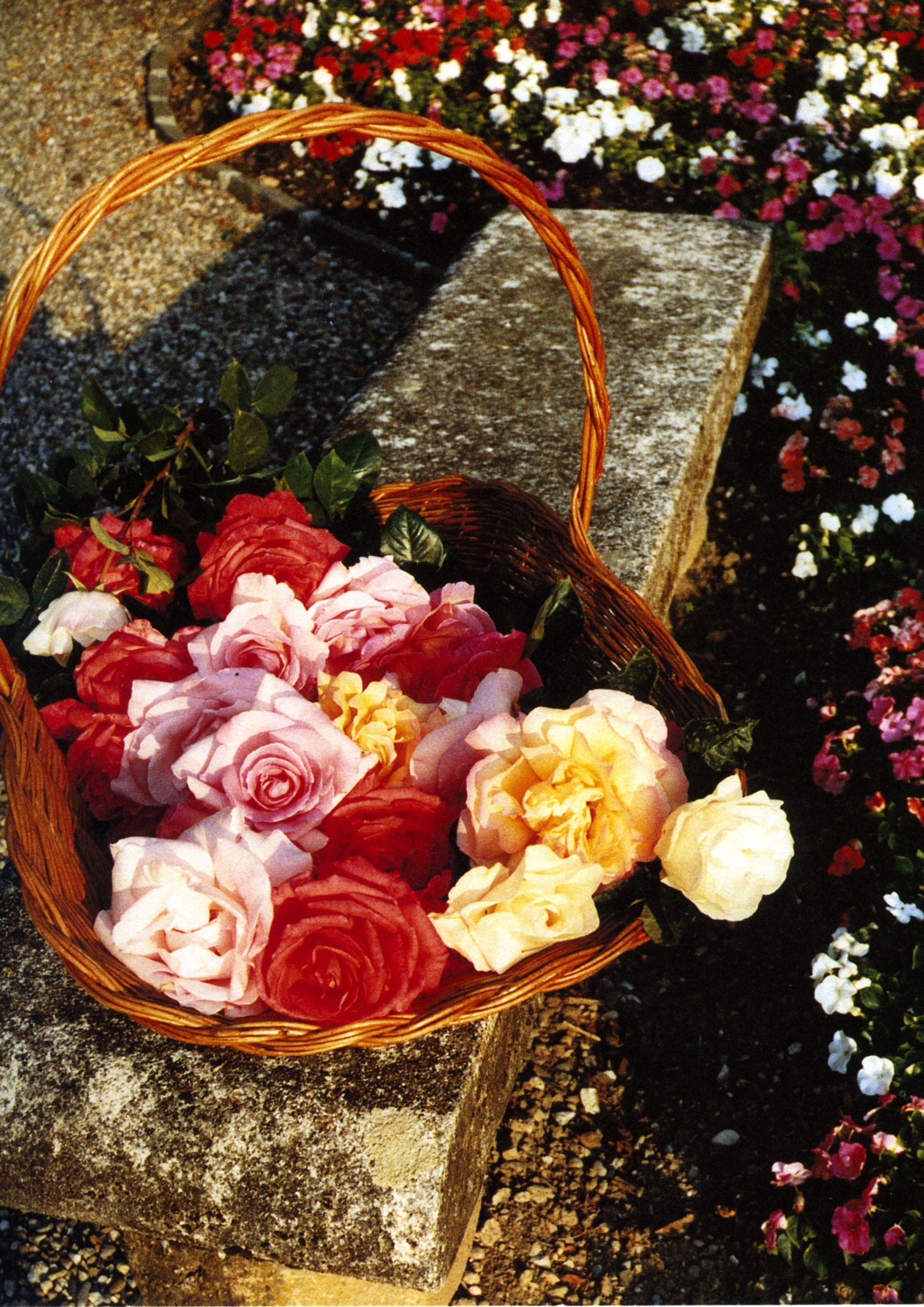 By Audrey Hepburn Pink Flower Pinterest Audrey Hepburn Plants