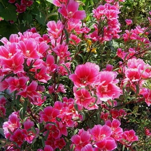 Godetia Farewell To Spring Seeds Coastal Decor Spring Seeds