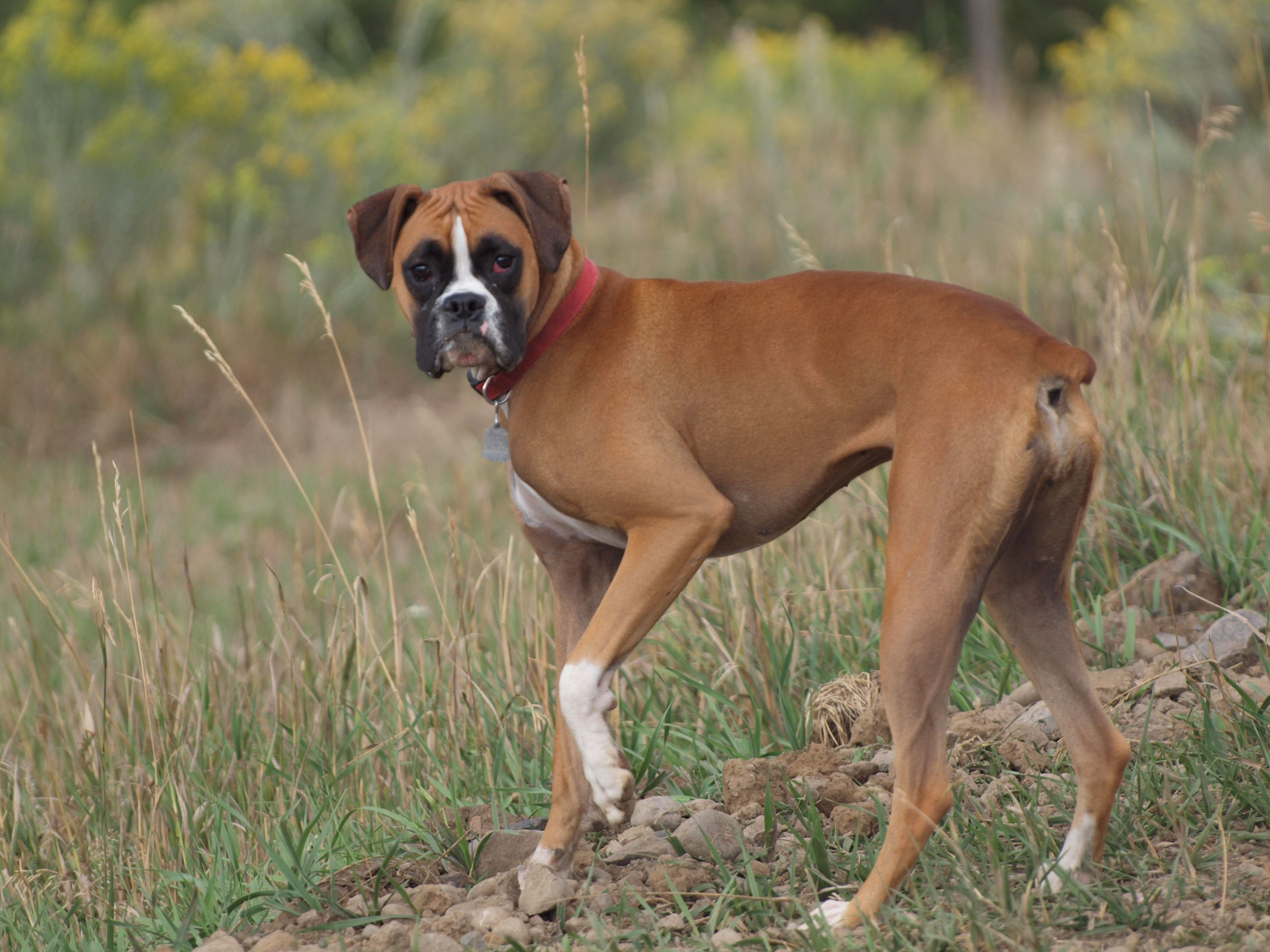 Best dog in the world, our boxer Dixie, near Pagosa