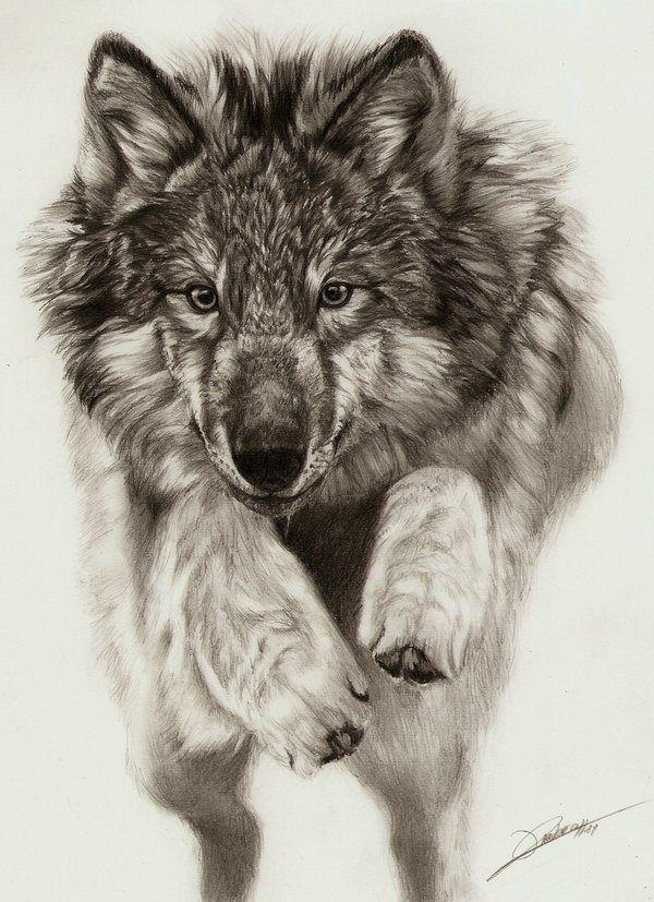 a beautiful wolf drawing wolf wolf