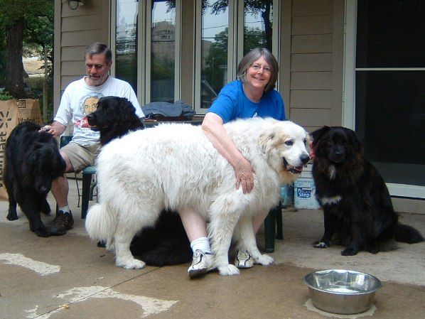 Huge Great Pyrenees Google Search Great Pyrenees Pyrenees