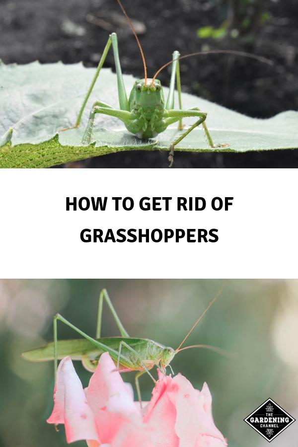46b688a5be5d73a222e243d9117e32a3 - How To Get Rid Of Grasshoppers On My Plants