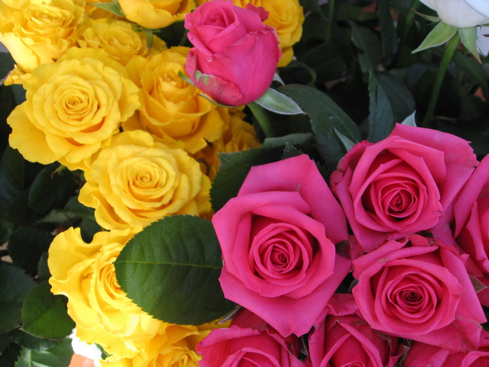Beautiful yellow rose gardens - Yellow Roses Background Wallpapers Browse