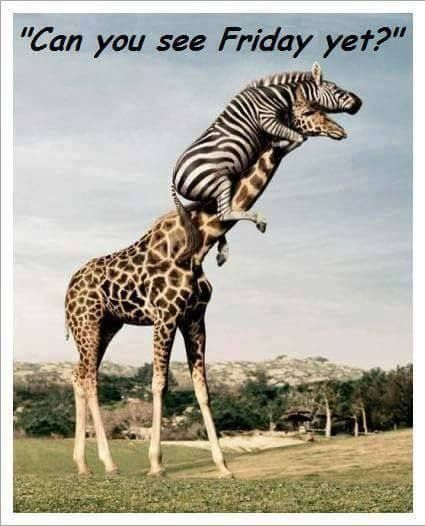 Is It Friday Yet Meme : friday, RANDOM, THOUGHTS, TUESDAY, FEBRUARY, 17TH,, Funny, Animal, Photos,, Giraffe,, Pictures
