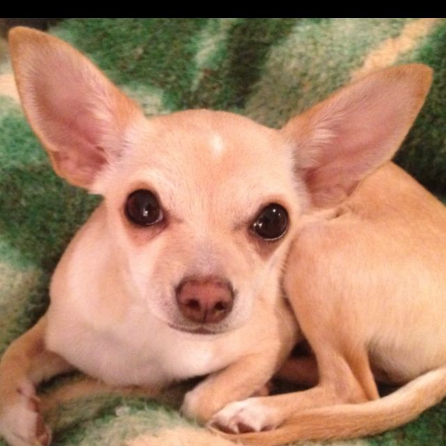 Pin By Aziyadeh Rochac On Family Treasures Cute Chihuahua