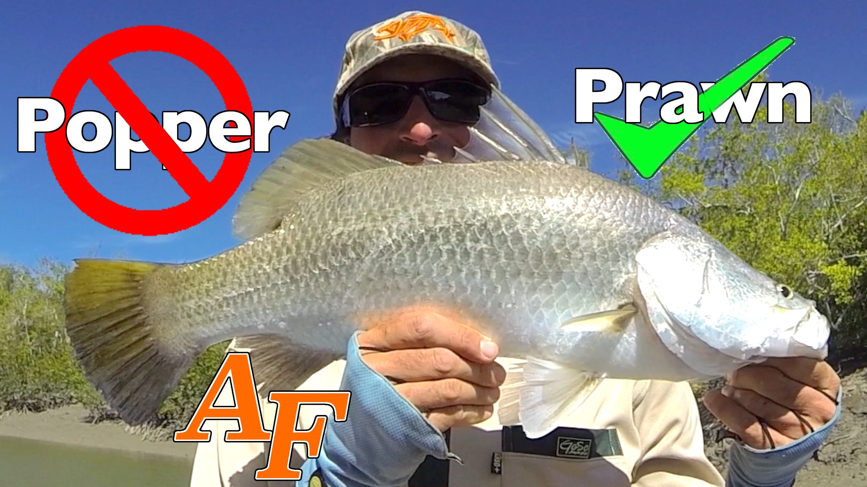 Popper Bad Prawn Good Barramundi Fishing Andysfishing