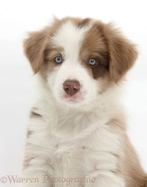 Cute Lilac Border Collie Puppy 7 Weeks Old Lilac Really Collie Puppies Border Collie Puppies Puppies
