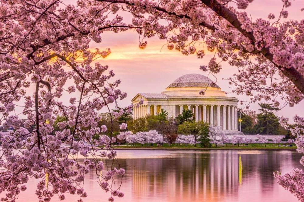 Washington D C Shutterstock Cherry Blossom Festival Dc Cherry Blossom Pictures Cherry Blossom Washington Dc