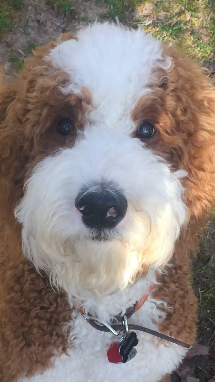 Hooper Seneca S Brother Fluffy Dogs Doodle Dog Cute Animals