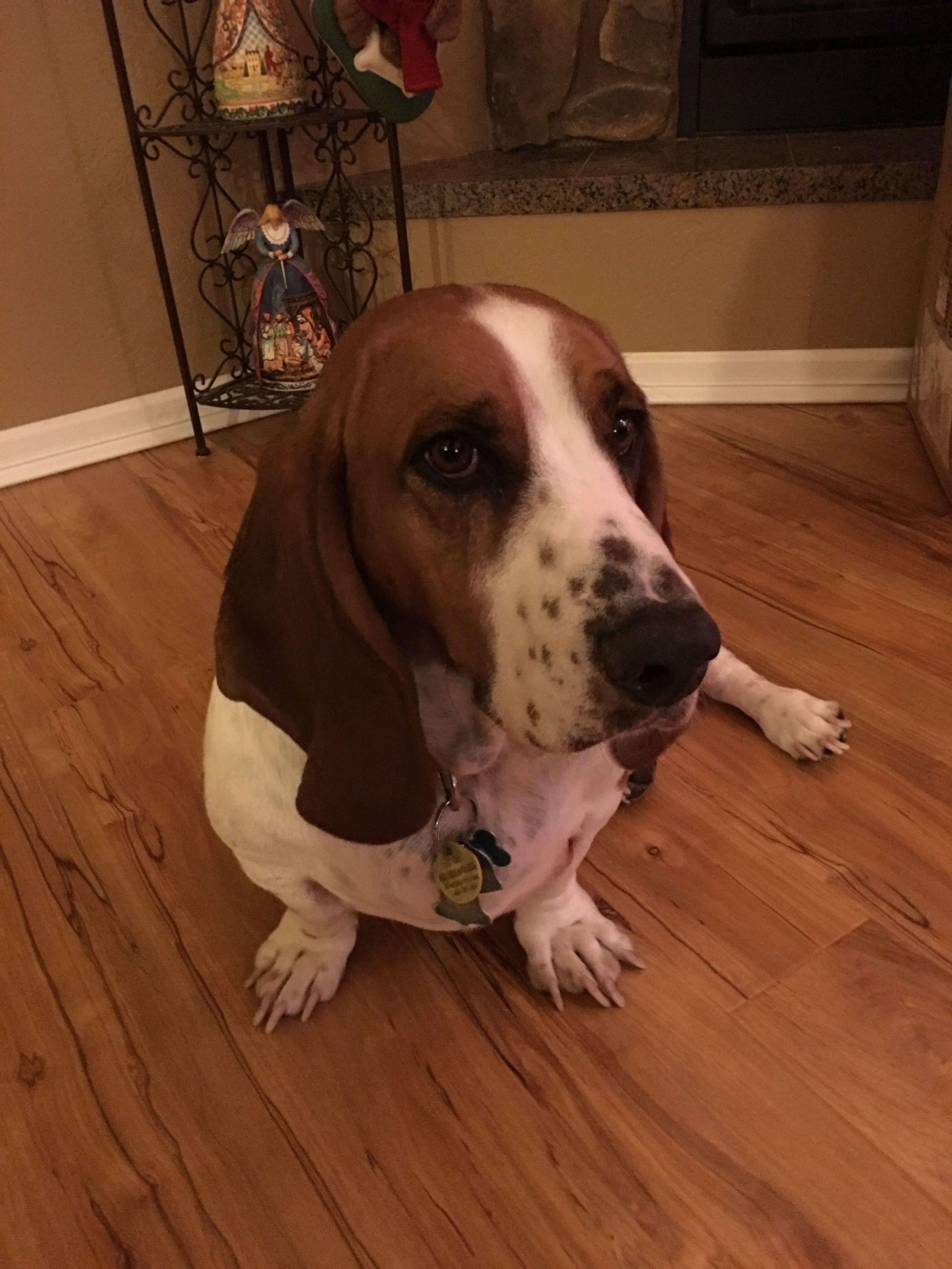 Christmas 2016 Basset, Basset hound, Puppy love