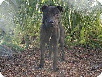 San Pedro, CA - Pit Bull Terrier. Meet STEVIE, a dog for adoption. http://www.adoptapet.com/pet/14720911-san-pedro-california-pit-bull-terrier