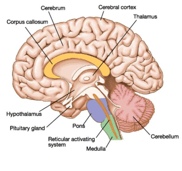 Hypothalamus and pituitary gland anatomy in the human brain - www ...
