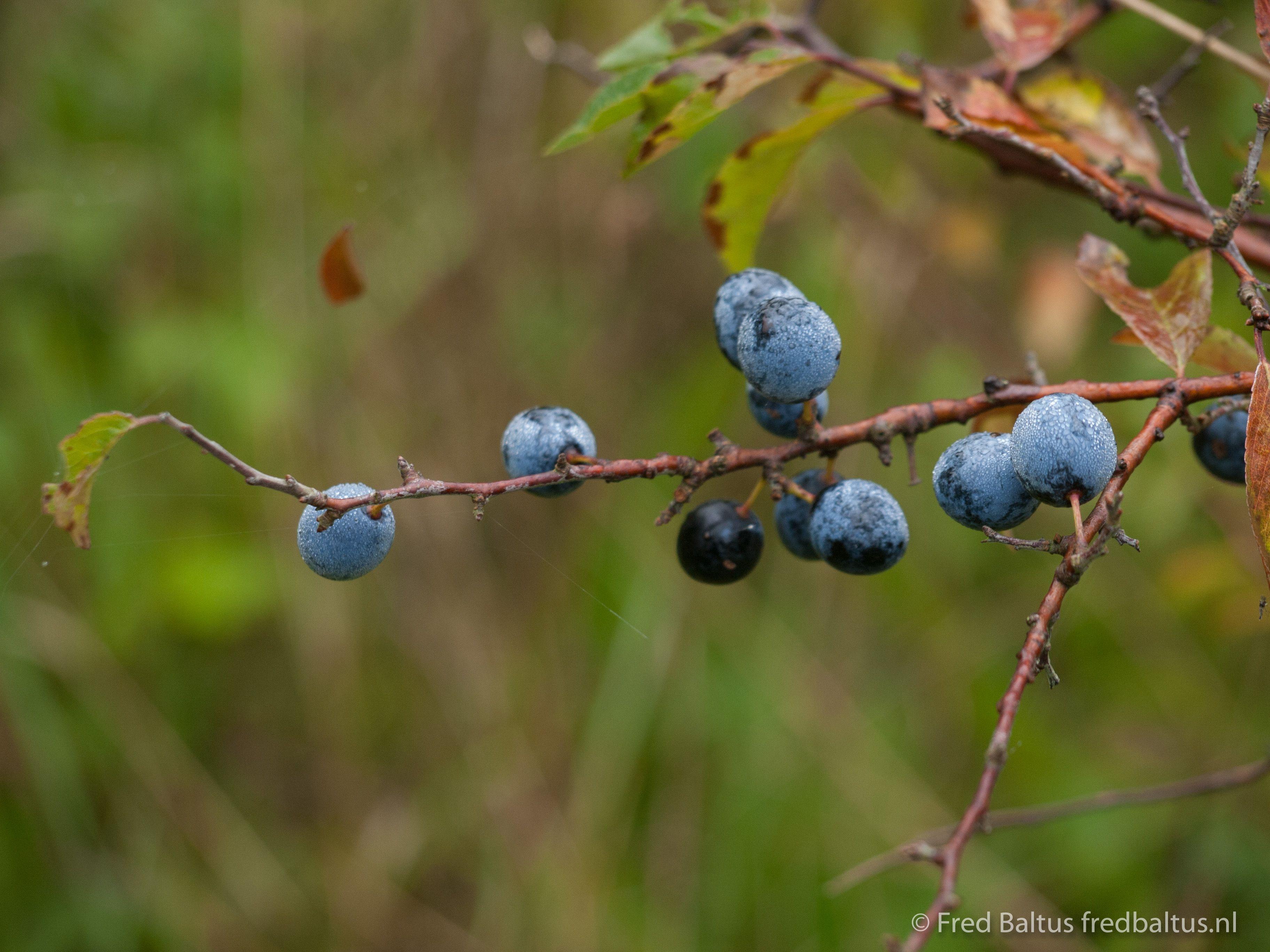 Blue Berrys
