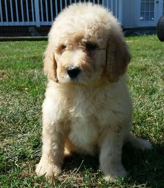 Labradoodle Puppy For Sale Goldendoodle Puppy For Sale Labradoodle