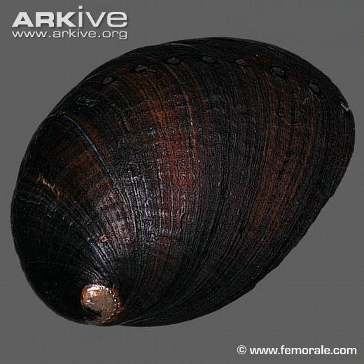 Black abalone shell from collection (Haliotis cracherodii)