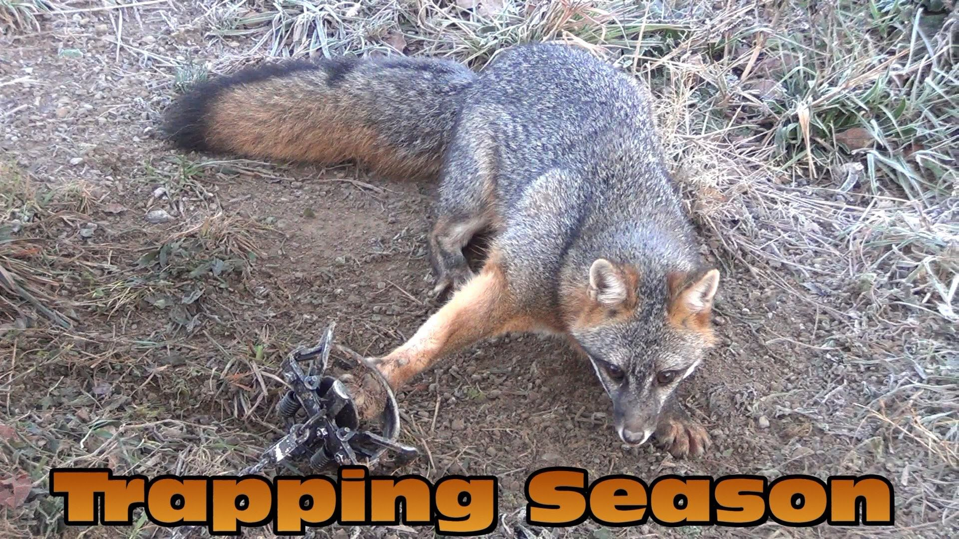 2013 trapping raccoon fox skunk opossum pennsylvania shane