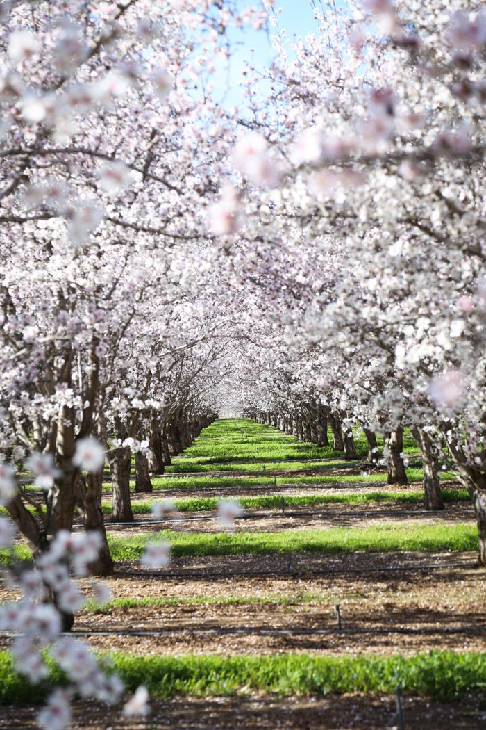 Almond Orchards In Bloom Hither Thither Tree Photography Arbor Day Foundation Almond Tree