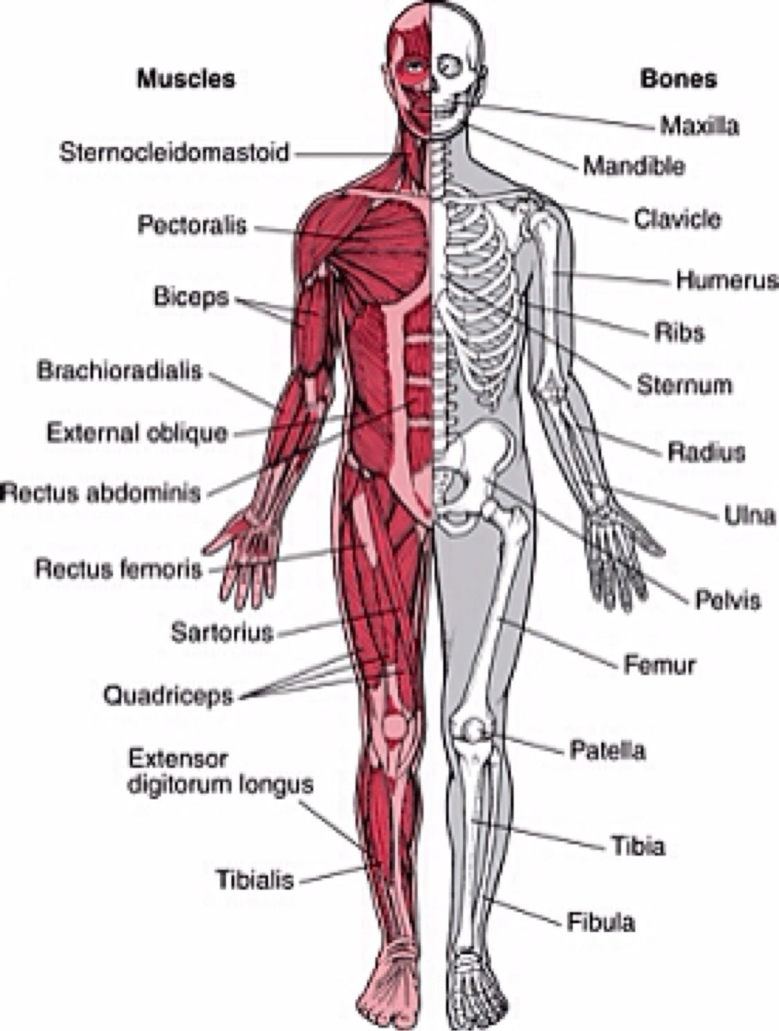 Diagram Of Muscular System | human anatomy organs ...