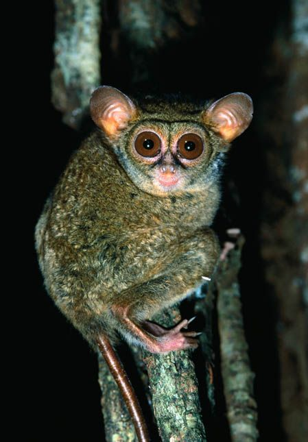 Bush Baby Indonesia Www Frontiergap Com Indonesia Animals