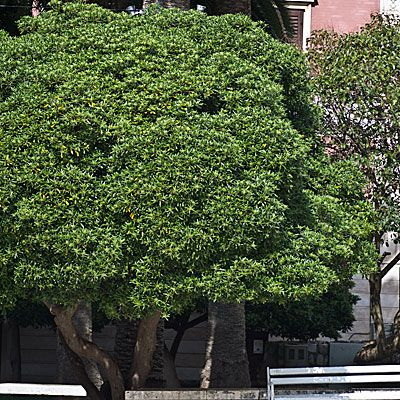 pittosporum tobira pittosporac es pittosporum de 4m de haut plantes pinterest arbre. Black Bedroom Furniture Sets. Home Design Ideas