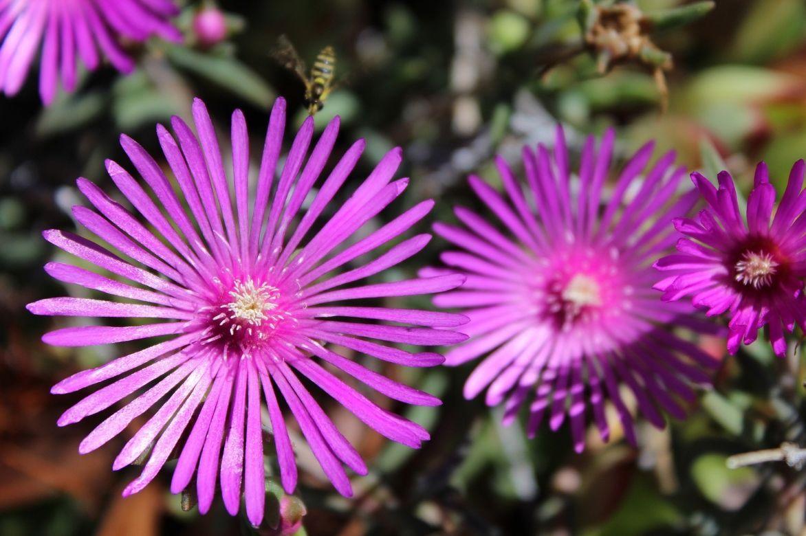 Delosperma, pourpier vivace : planter et cultiver ...