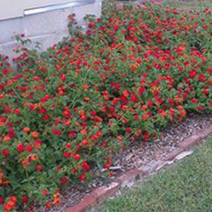 Dallas Red Lantana Plant Lantana Plant Lantana Flower Lantana