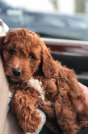 Have You Been Thinking About Adopting A Bernedoodle This Is Your Sign Click Here To Find Out More About Good Dog S Ce Aussiedoodle Goldendoodle Bernedoodle