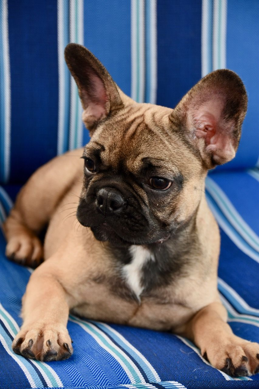 Breed French Bulldog Gender Male Registry Non