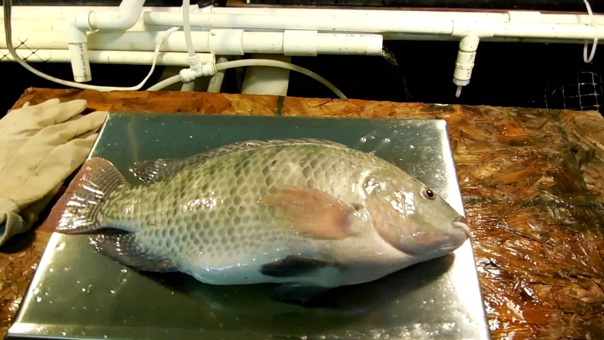 home tilapia production with diy small scale aquaculture system