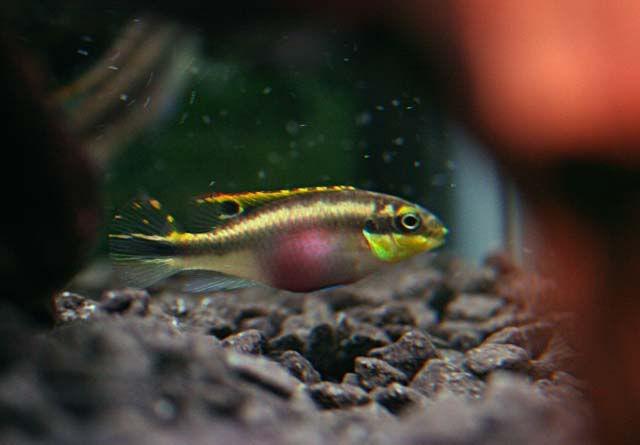 Kribensis Cichlids African Vissen Aquarium