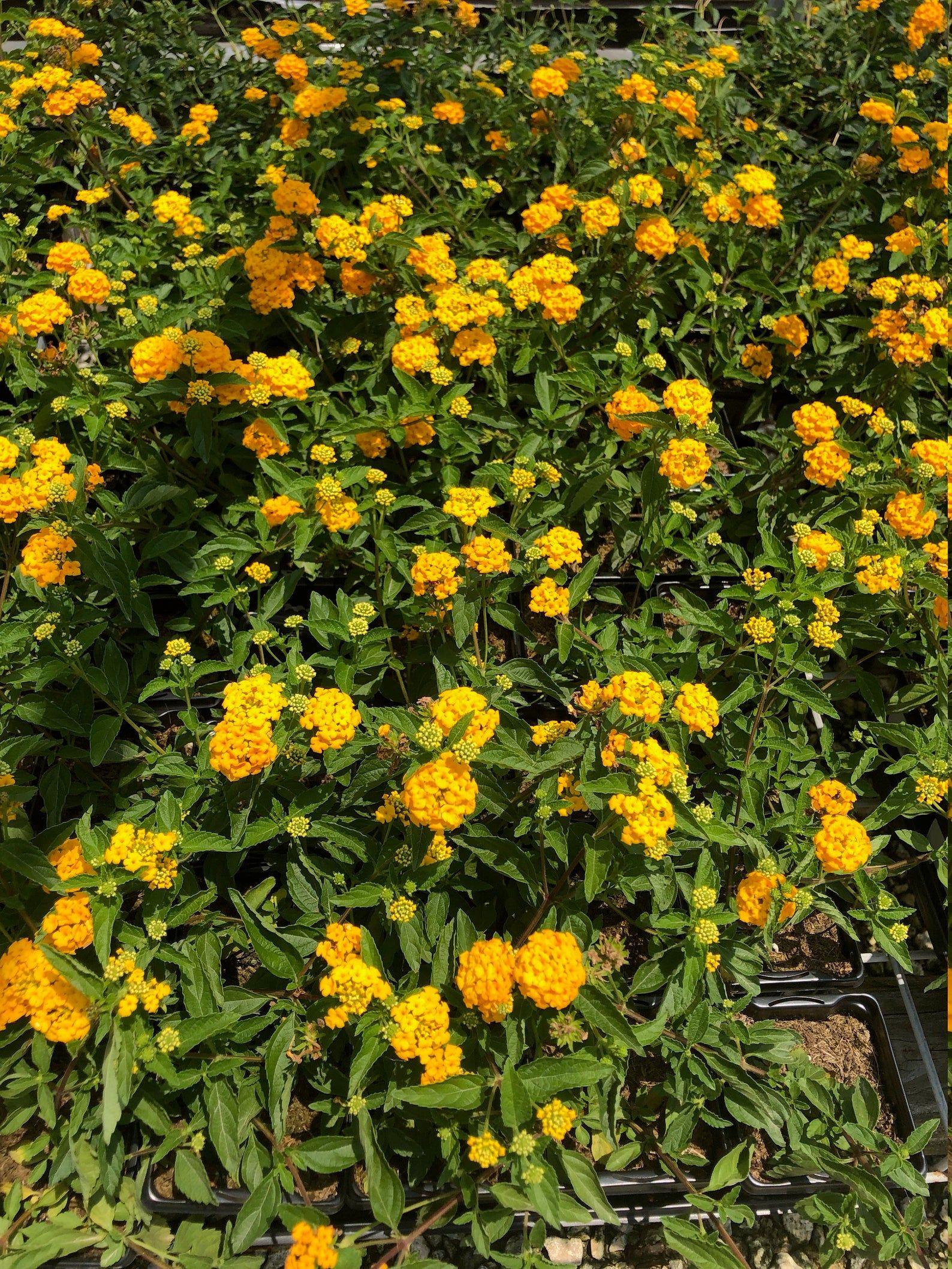 One Gallon New Gold Lantana Etsy In 2020 Lantana Garden Plant Identification Texas Landscaping