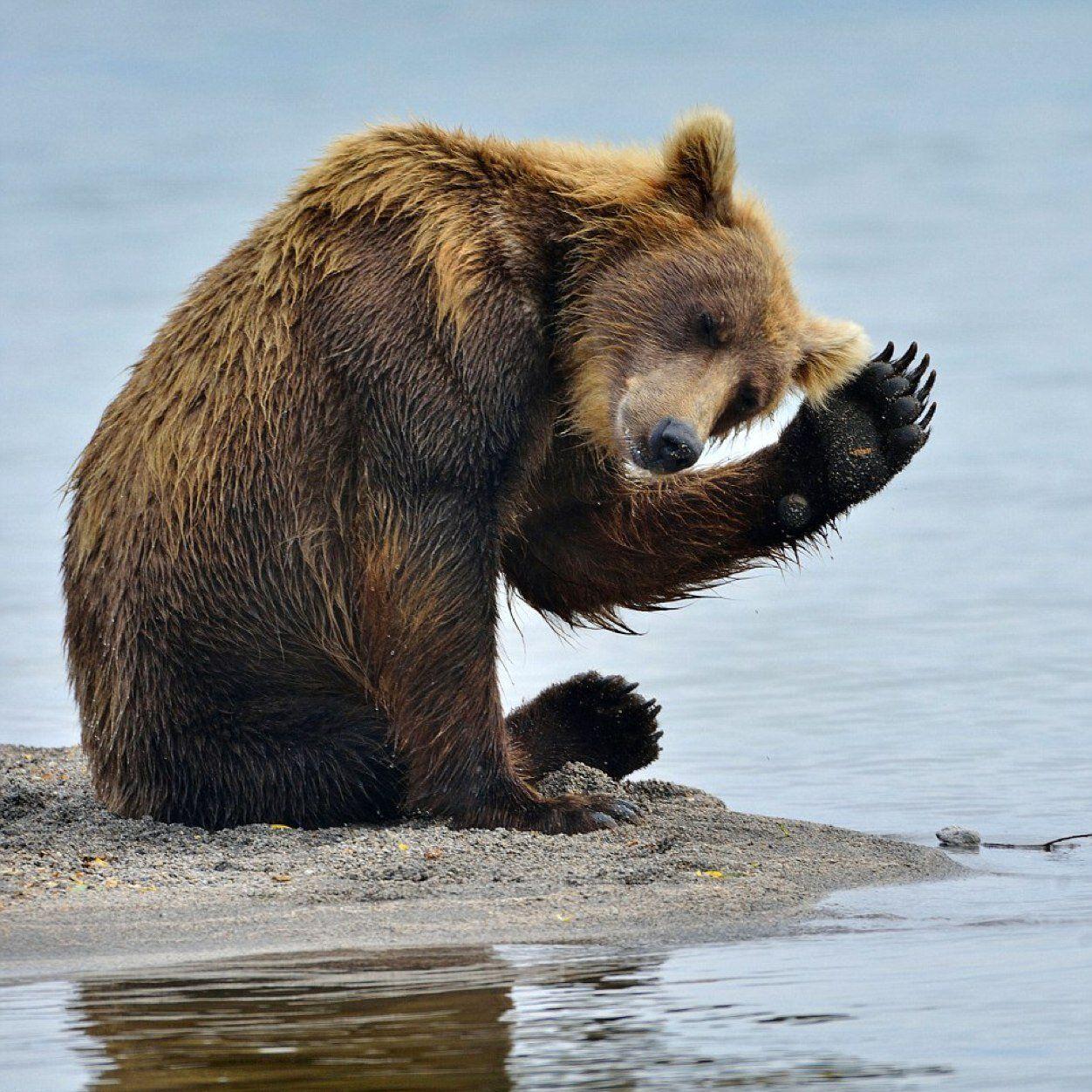 Картинки медведь прикол, розами синими прикольные