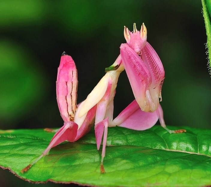 Green Living The Orchid Mantis Or Walking Flower Mantis Orchid Mantis Orchids Colorful Animals