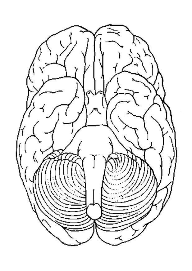 coloring page brain bottom view img 4301 coloring activities