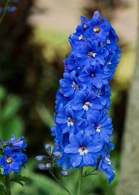 Free Image On Pixabay Delphinium Larkspur Flowers With Images