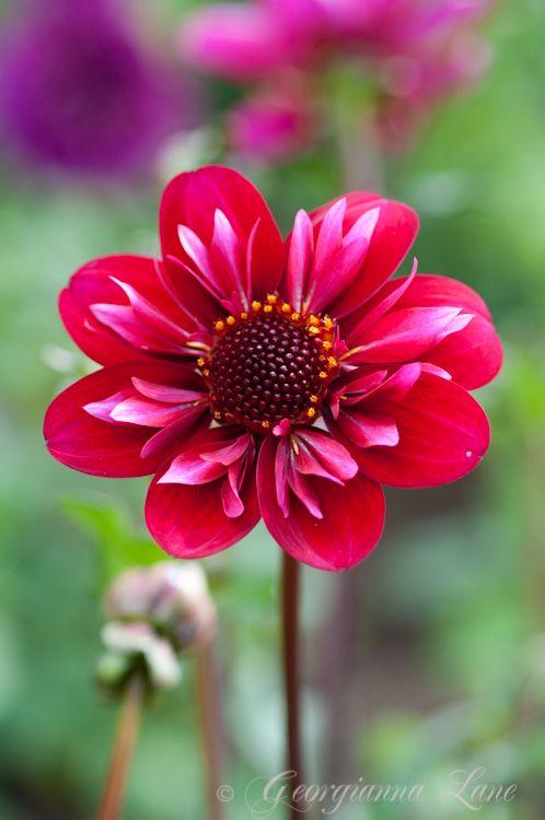 Dahlias fiori natura e piante for Giardinaggio e fiori