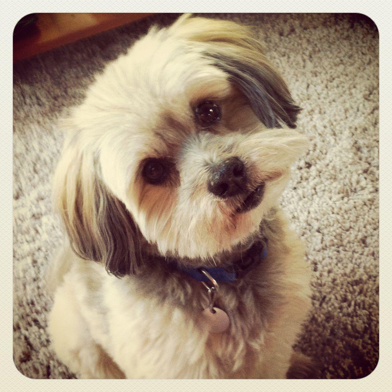 Cutest dog ever pomeranian shitzu poodle i love him