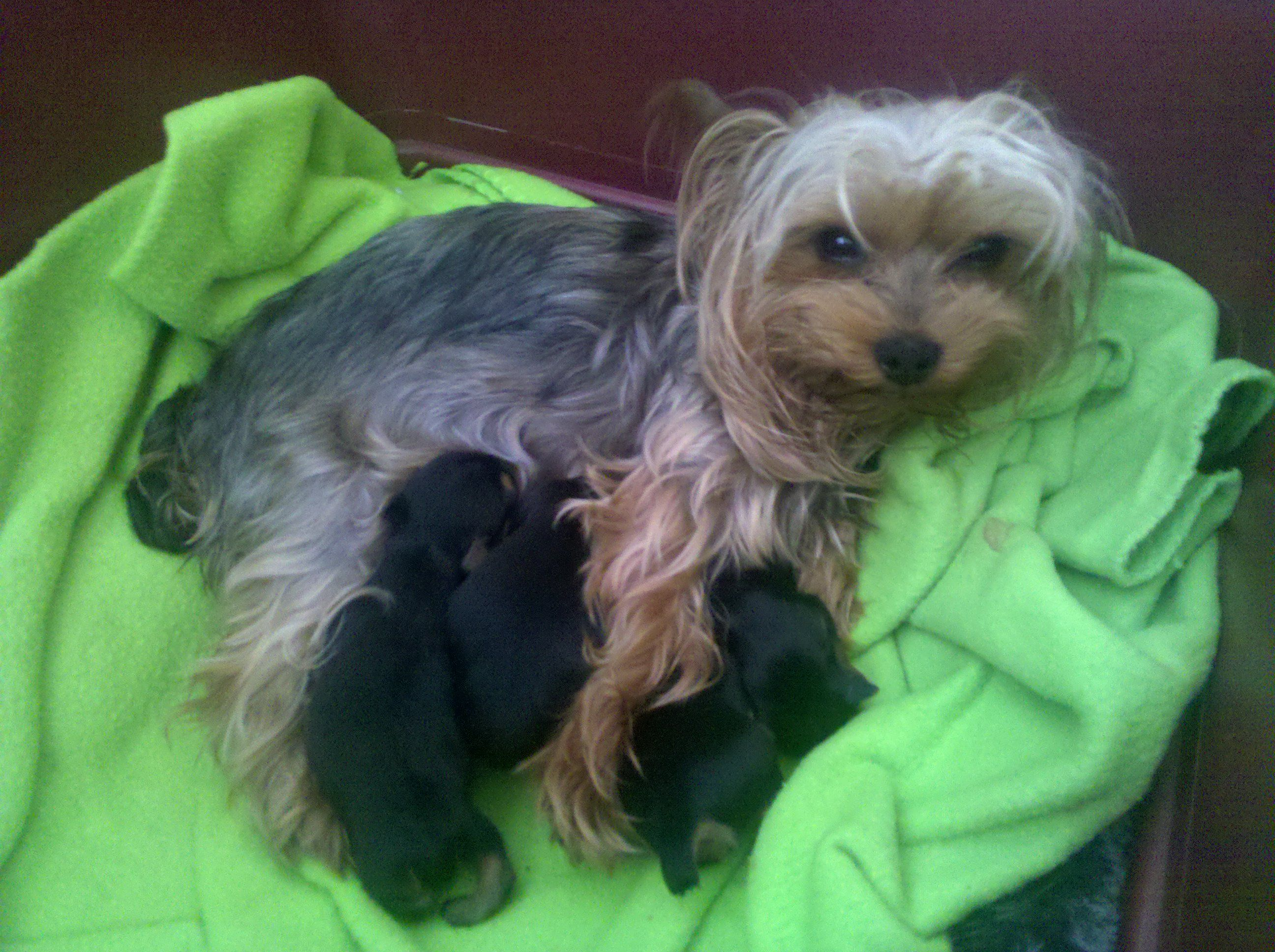Tired Mommy 2 Boys And 2 Girls Yorkie Tired Mommy Doggy
