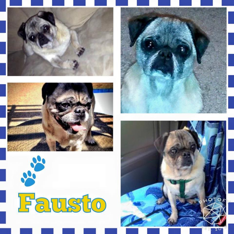 Hi Everyone My Name Is Fausto And I Am A 10 Year Old Senior Pug