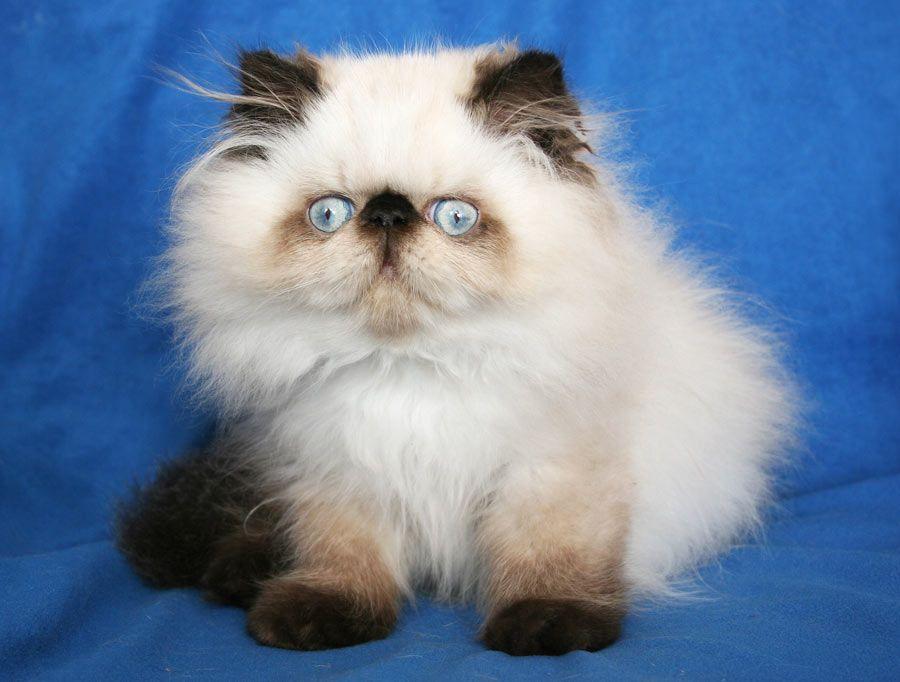 Pin Valentino De Montespan Per N 33 Seal Point Kitten Male On