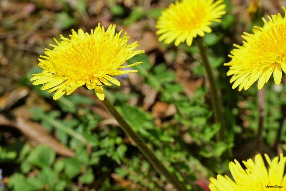 たんぽぽ タンポポ の綿毛とは 花言葉や育ち方 ハーバリウムの作り方は horti ホルティ by greensnap たんぽぽ タンポポ flower 花のある暮らし 花 たんぽぽ タンポポ 綺麗な花
