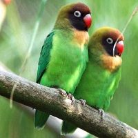 Ciri Ciri Lovebird Jantan Dan Betina Burung Master Burung Beo Burung Betet
