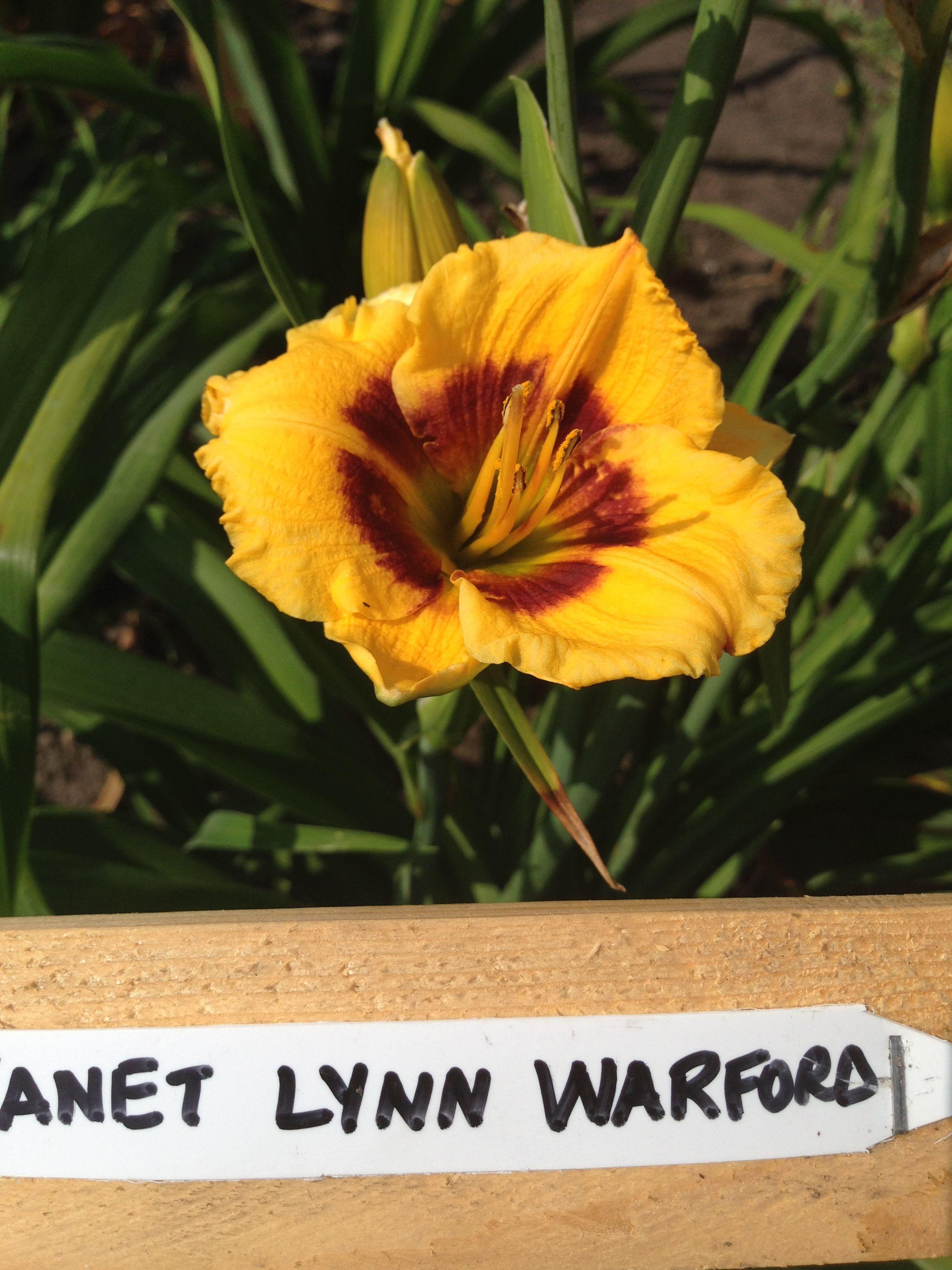 Lynn Warford Day lilies, Garden, Plants