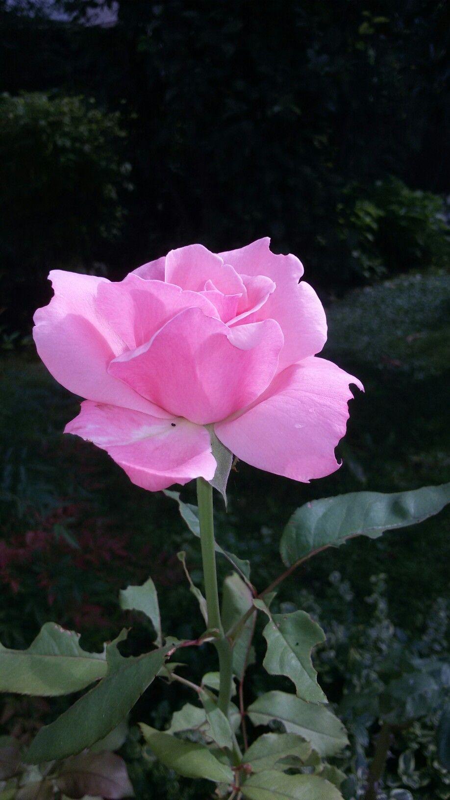 #Rose #pink #flower #beautiful #nature ♡