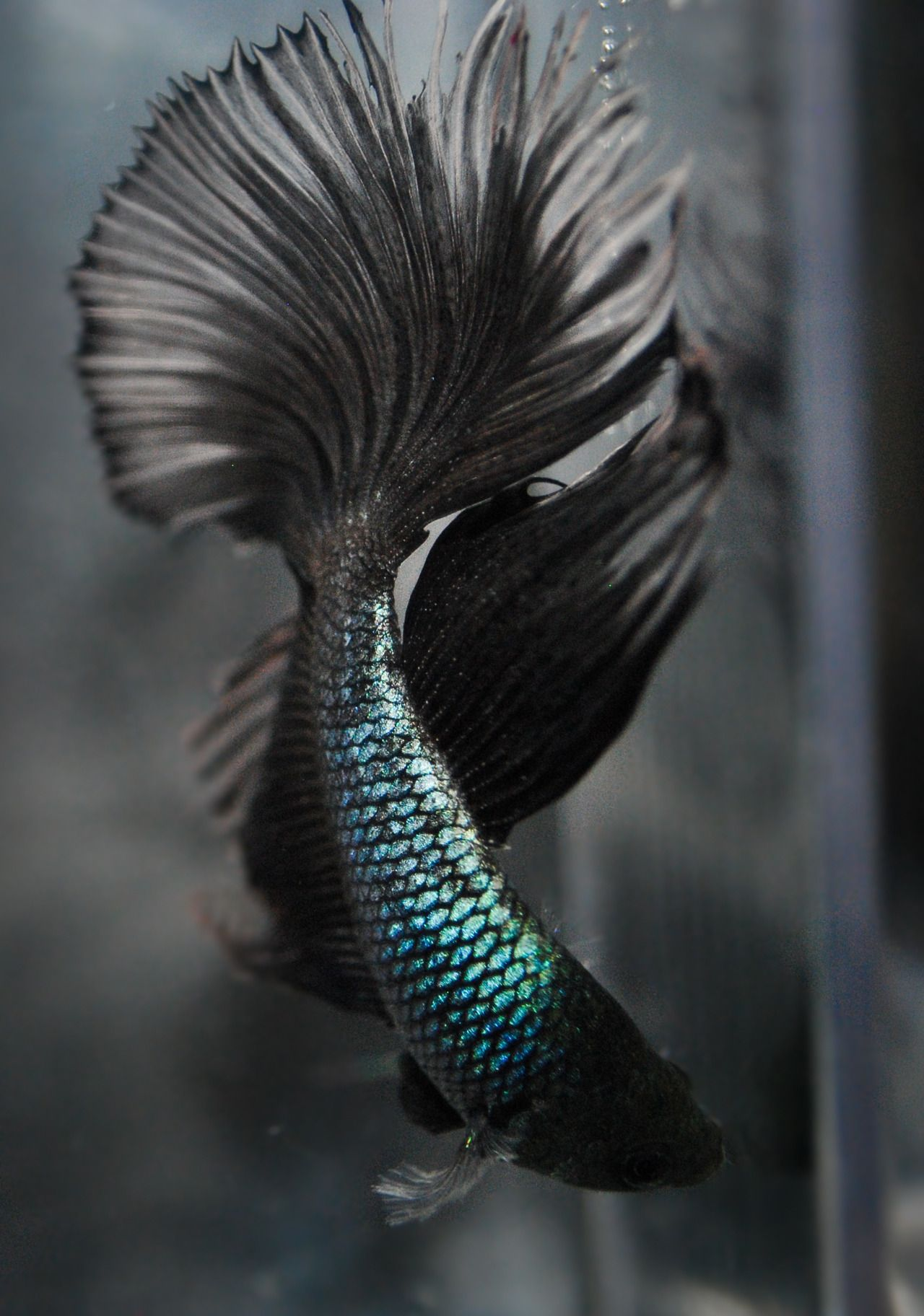The siamese fighting fish betta splendens also known as for Fighting betta fish