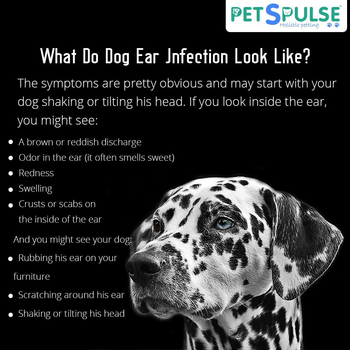 What Do Dog Ear Infections Look Like The Symptoms Are Pretty